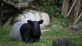 Malayan Tapir or Tapirus Indicus, lay down or sleeping for resting on green grass, in HD stock video footage