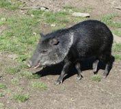 Malayan tapir Royalty Free Stock Image