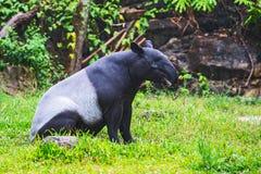Malayan tapir. Tapirus indicus Thailand stock photo