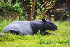 Malayan tapir. Tapirus indicus Thailand royalty free stock photo