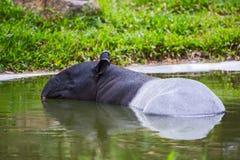 Malayan tapir Stock Images