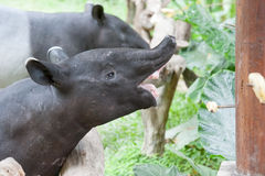Malayan tapir. (tapirus indicus) in Zoo. Thailand stock photos