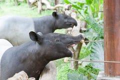 Malayan tapir Royalty Free Stock Images
