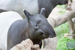 Malayan tapir Stock Photography