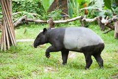 Malayan tapir Stock Photo