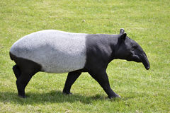 Malayan tapir walking on grass. Malayan tapir Tapirus indicus walking on grass and viewed of profile stock photos