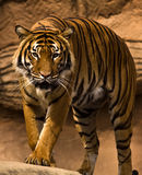 Malayan Tiger. Close up image of Male Malayan Tiger Royalty Free Stock Photography