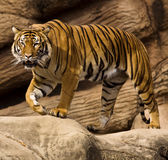 Malayan Tiger Royalty Free Stock Photos