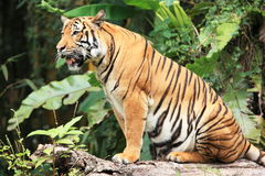 Malayan Tiger. The Malayan Tiger on the tree trunk royalty free stock images