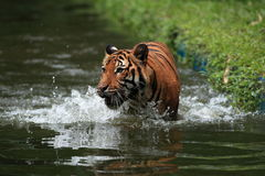MALAYAN TIGER. The Malayan Tiger and its reflection from the local pond stock photography