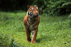 MALAYAN TIGER. The Malayan Tiger walking on the side of a local pool stock images