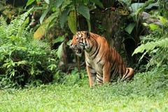 MALAYAN TIGER. The Malayan Tiger at the green bush Stock Image