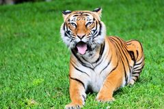 malayan tiger Royaltyfri Fotografi