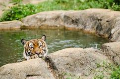Malayan Tiger Stock Images