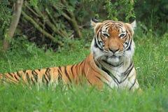 malayan tiger Royaltyfri Bild