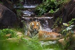 MALAYAN TIGER. The Malayan Tiger at the green bush royalty free stock image