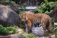 MALAYAN TIGER. The Malayan Tiger at the green bush royalty free stock images