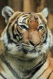 Malayan tiger Royaltyfri Foto