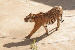 Malayan tiger Stock Image
