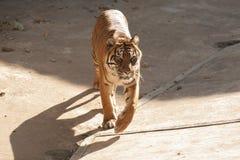 Malayan tiger Stock Photos
