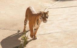 Malayan tiger Royalty Free Stock Image