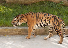 Malayan tiger Royalty Free Stock Photography