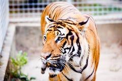 malayan tiger Arkivbild
