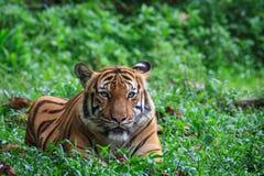 malayan tiger Arkivfoton