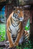 malayan tiger Arkivbilder