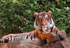 Malayan Tiger on alert. Beautiful tiger lying on cliffs edge Stock Photos