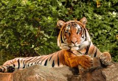 Malayan Tiger on Alert. A beautiful tiger lying on a cliffs edge Stock Image