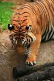 Malayan Tiger Bow to the King Royalty Free Stock Photos