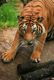 Malayan Tiger Close-up. Until 2004, there were eight conventional classification of tigers. However, a test of the DNA of more than 130 tigers and tiger pelts Royalty Free Stock Photo