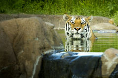 Malayan Tiger Cools Off  From Summer Heat. This Malayan Tiger cools off from the summer heat by taking a dip in it's pool at the local zoo Stock Photos