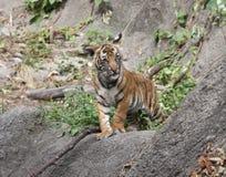 Malayan Tiger Cub Stock Photos