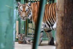 Malayan tigers Royalty Free Stock Photography