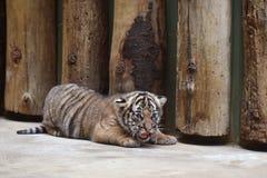 Malayan tiger cub Stock Images