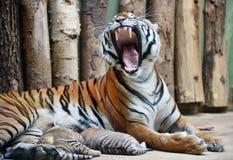 Malayan tigers Stock Photography