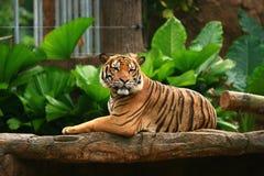 malayan tiger för hakakonung upp royaltyfri fotografi