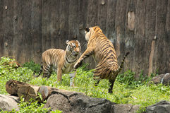 Malayan Tiger fighting each other. In zoo stock photos
