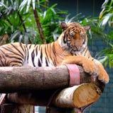 Malayan tiger i fångenskap Arkivfoton