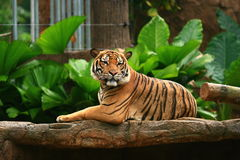 Malayan Tiger King Chin-Up Royalty Free Stock Photography