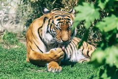 Malayan tiger licks paw lying on the ground. Beautiful striped cat Panthera tigris tigris resting on green grass. Critically endangered species stock image