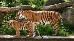 Malayan tiger, mother with kitten. Malayan tiger Panthera tigris jacksoni, Zoo Prag, Czech Republic royalty free stock photo