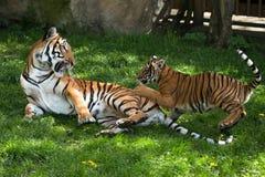 Malayan tiger, mother with kitten. Malayan tiger Panthera tigris jacksoni, Zoo Prag, Czech Republic royalty free stock photography