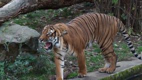 Malayan tiger Panthera tigris jacksoni stock video footage