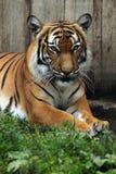 Malayan tiger (Panthera tigris jacksoni). Royalty Free Stock Photography