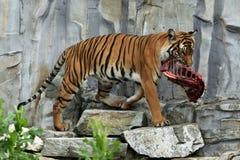 Malayan tiger (Panthera tigris jacksoni). Stock Images