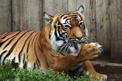 Malayan tiger (Panthera tigris jacksoni). Stock Image