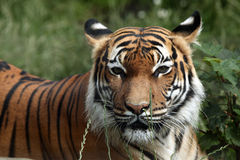 Malayan tiger (Panthera tigris jacksoni). Royalty Free Stock Photos